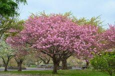 おにうし桜